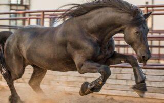 Фризская лошадь Los Establos