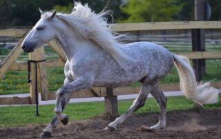 Андалузская лошадь PRE Los Establos